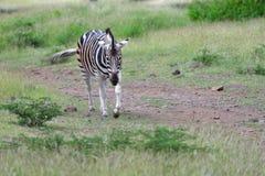 Free Zebra Royalty Free Stock Photography - 31097367