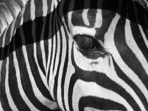 Free Zebra Royalty Free Stock Image - 3228306