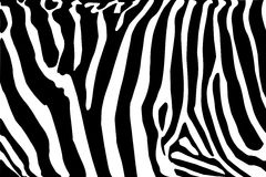 Zebra. Texture Black and White Stock Image