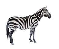 A zebra. Imagem de Stock