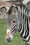 Zebra. Obrazy Royalty Free