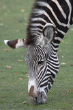 Zebra. Fotografia Royalty Free