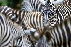 Zebra. A close up shot of african Zebra Stock Photos