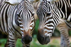 Zebra. A close up shot of african Zebra Royalty Free Stock Images