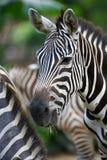 Zebra. A close up shot of african Zebra Royalty Free Stock Photos