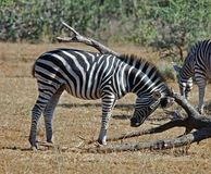 Zebra. A young Grevy's Zebra scratching its neck against a dead branch of a tree Stock Photography