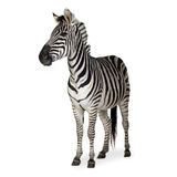 Zebra. In front of a white background stock image