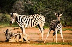 Zebra. An image of Namibian Zebra Royalty Free Stock Images