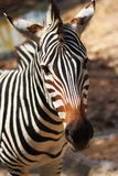 Zebra. At Chiang Mai Night Safari Stock Image