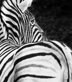 ZEBRA. In zoo. Black and white photo of Stock Images
