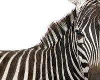 Zebra (4 anni) Fotografia Stock