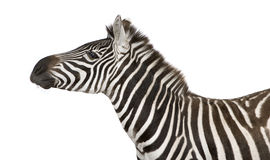 Zebra (4 years) Royalty Free Stock Photography