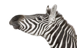 Zebra (4 years) Royalty Free Stock Photos