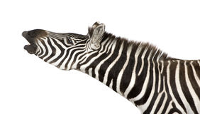 Zebra (4 years) Royalty Free Stock Photo