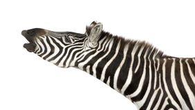 Zebra (4 years) Royalty Free Stock Photo
