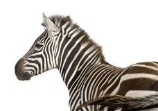 Zebra (4 years) Royalty Free Stock Images