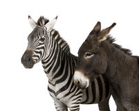 A Zebra (4 years) and a donkey (4 years) Stock Images