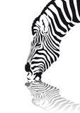 Zebra. Abstract vector of an african zebra drinking water Stock Photo
