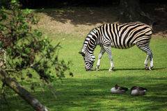 Zebra Fotografia de Stock Royalty Free