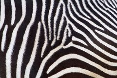 Zebra. In front of a white background Stock Photos