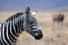 Zebra. In the serengeti Stock Photo