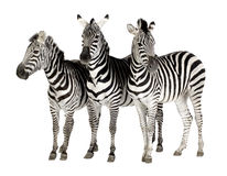 Free Zebra Royalty Free Stock Photo - 4247385