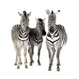 Zebra. In front of a white background royalty free stock image