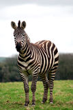 Zebra Fotografia Stock