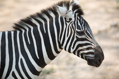 Free Zebra Stock Photo - 44028240