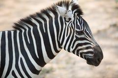 Zebra Stockfoto