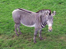Zebra. Against a grassy background Royalty Free Stock Image