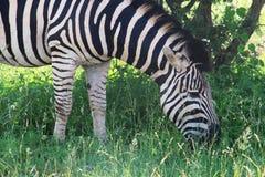 Free Zebra Stock Photo - 45546940