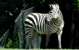 Zebra. In zoo royalty free stock photography