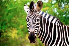 A zebra Foto de Stock Royalty Free