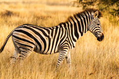 Free Zebra Stock Images - 46938364