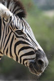 Zebra. A close up of the head of a zebra Royalty Free Stock Photography