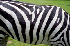 Zebra Stockfotografie