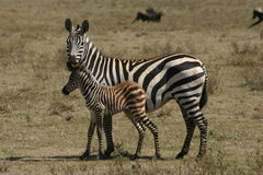 Zebra. Just born zebra with his mother Royalty Free Stock Photo