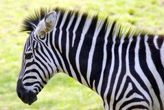 Zebra Lizenzfreies Stockfoto