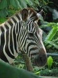 Zebra 5 Stock Image
