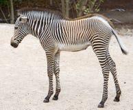 Zebra 5 Royalty Free Stock Image