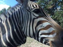 Zebra foto de stock royalty free
