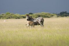 Zebra. With a baby - South Africa Stock Image