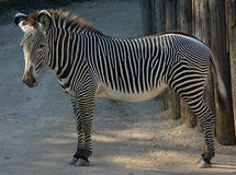 Zebra. A zebra standing sideways. shows the whole body and all four feet. head is slightly turned toward the camera Stock Image