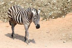 Zebra Lizenzfreies Stockbild