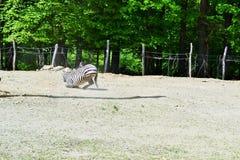 Zebra Lizenzfreie Stockfotos