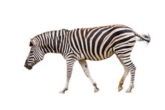 Zebra. Isolated on white, swishing tail while walking royalty free stock photos