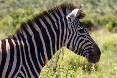 Zebra Stockfotos