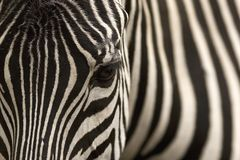 Zebra. A zebra in front view and details of its print Stock Image
