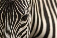 Zebra Immagine Stock